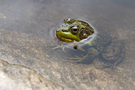 Frosch im Algonquin Provincial Park